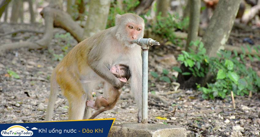 Khỉ uống nước tự động tại Hòn Lao